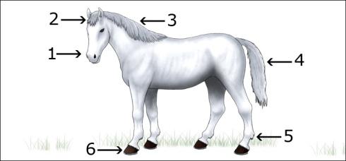 Partes de la anatomía de un caballo